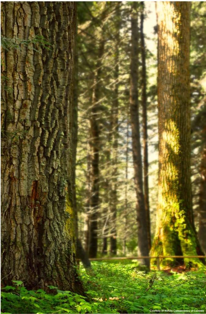 ancient-trees-NCC
